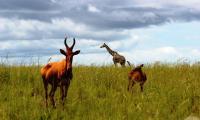 Hartebeest_murchison falls national park.jpg