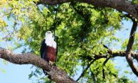 eagle_murchison falls national park.jpg