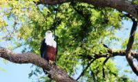 eagle_murchison falls national park.jpg