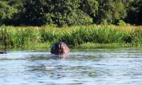 hippo walking away kabalega lodge.jpg