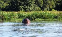 hippo walking away kabalega lodge.jpg
